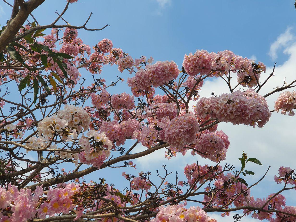 hoa hong phan bao loc 5